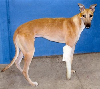 Injured greyhound Scooby