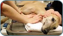 Vet care for greyhounds