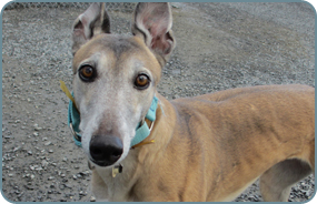 Adopt a retired greyhound in Maine